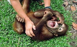 090604-apes-laugh-tickle-chimps-gorillas_big